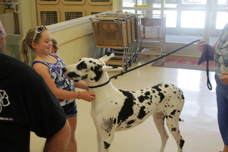 great-dane-harlequin-cropped-ears-child