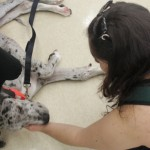 Fostering a Great Dane