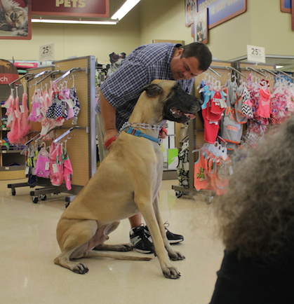 fawn-great-dane-large-gentle-giant