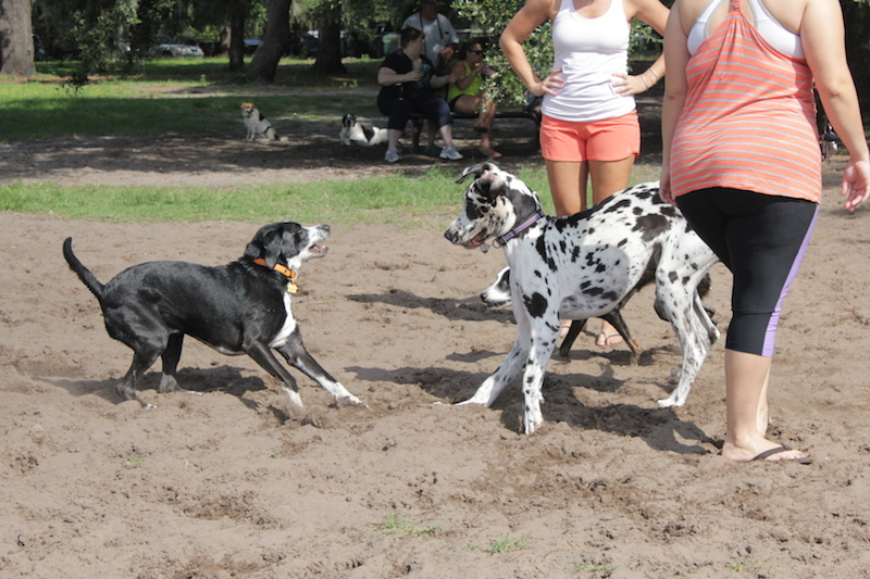 great-dane-harlequin-playing-gentle-giant