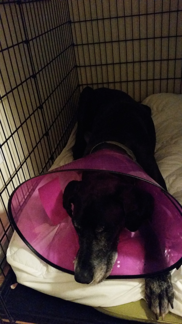 great-dane-cone-of-shame-black