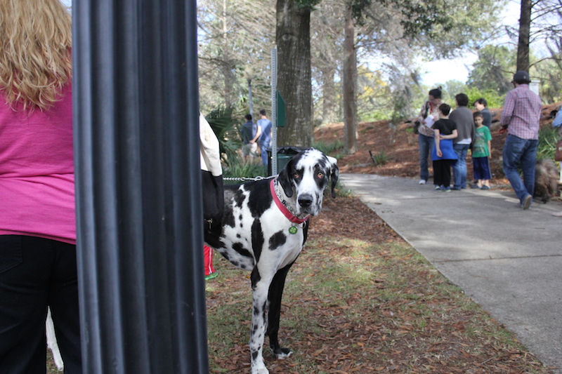 harlequin-great-dane