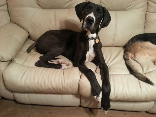 Legend, the mantle Great Dane, had his tail docked due to Happy Tail, but he's looks happy to me!