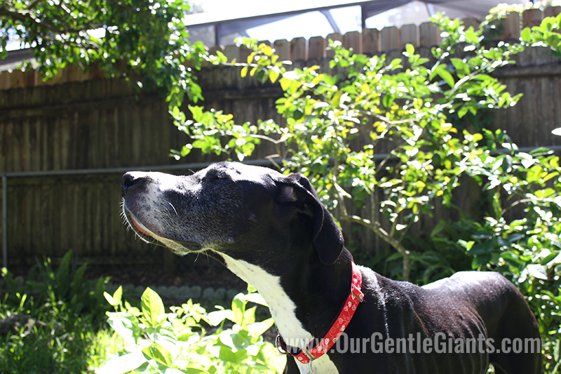 great-dane-mantle-sunlight