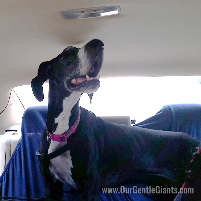 mantle-great-dane-happy-car-ride