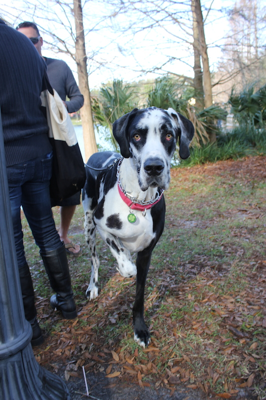 harlequin-great-dane-silly
