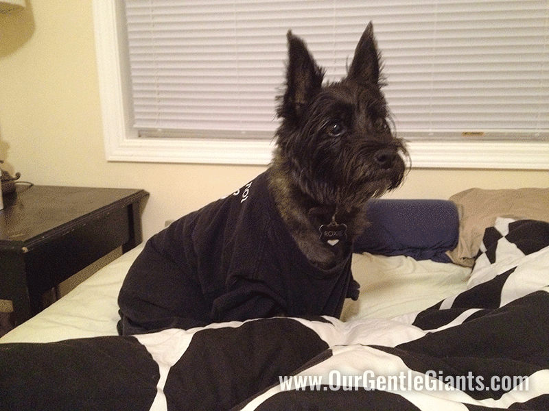 This is after she got her first mole removed in 2014. We put a shirt on her because Bubba kept stepping on her and sniffing it. Isn't she adorable??